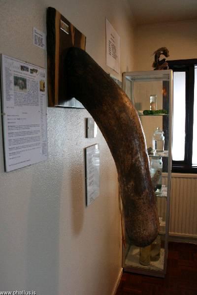 O pênis de uma baleia é o exemplar mais avantajado à disposição dos visitantes no Museu Falológico irlandês. Ah, importante: não pode tocar! (Fonte: http://www.phallus.is)