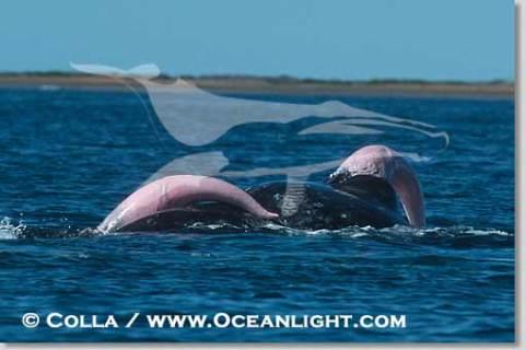 Dois machos da baleia cinzenta (Eschrichtius robustus) em comportamento de corte (!). Não se sabe se apenas um deles conseguiu penetrar a fêmea ou se acabaram se entendendo em um ménage à trois. (Fonte: http://www.oceanlight.com)